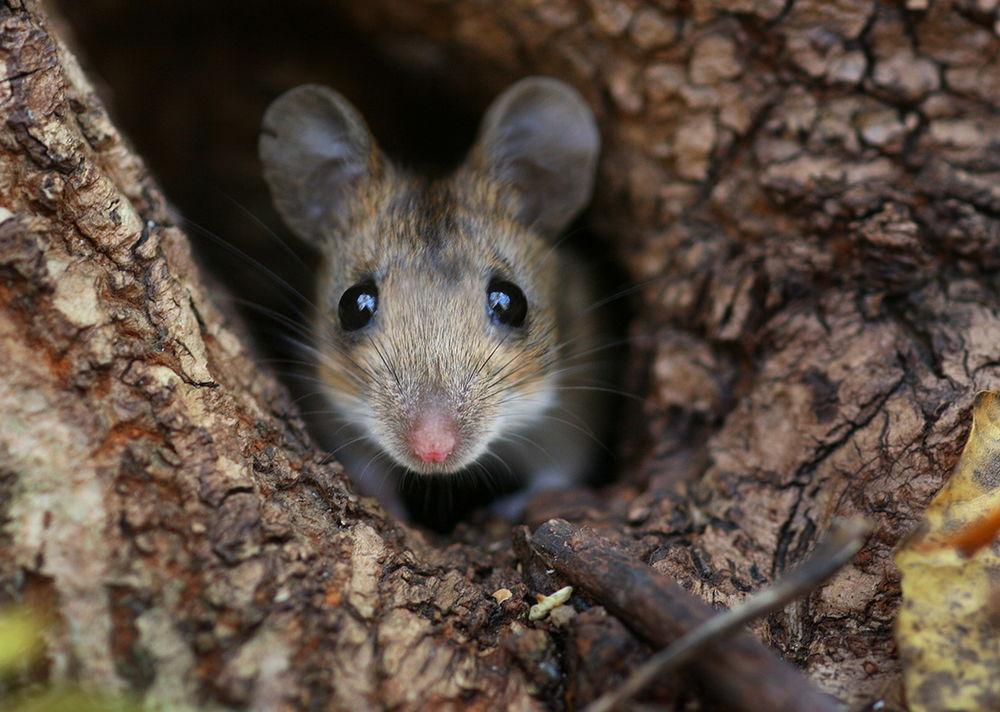 Хочу крысу